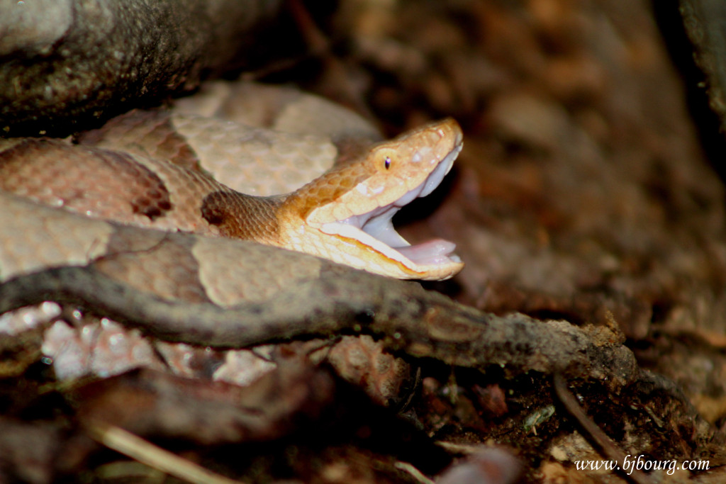 Copperhead copy
